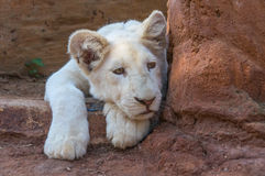 African White Lion Cub Royalty Free Stock Image