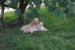 African White lion and lioness. African Black leopard close up in the wild, resting in the grass under the trees stock photo