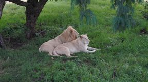 African White lion and lioness. African Black leopard close up in the wild, resting in the grass under the trees royalty free stock image