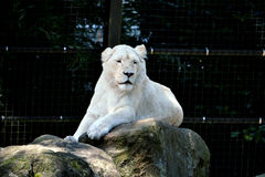 African White Lion Stock Photo