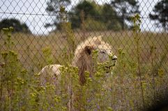 African white Lion Stock Images