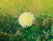 African white marigold or tagetes erecta. Creamy white marigold in garden. Fully-double white tagetes flowers stock photos