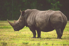 African White Rhino. An african white rhino standing broadside in a grassy clearing Royalty Free Stock Photo