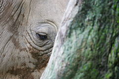 African White Rhino Royalty Free Stock Photos