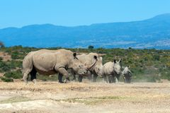 African white rhino. National park of Kenya royalty free stock photography