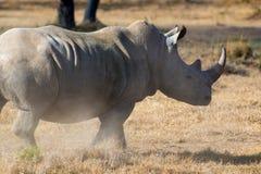 African white rhino. National park of Kenya stock photography