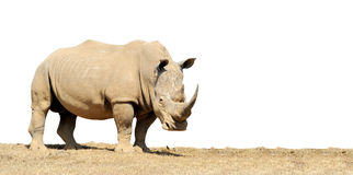 African white rhino. Isolated on white background Stock Photo