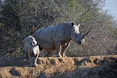 African White Rhino Mother and Baby stock photo