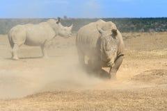 African white rhino. National park of Kenya stock photo