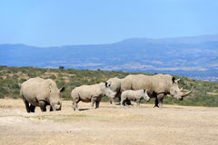 African white rhino stock photos