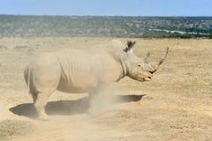 African white rhino. National park of Kenya royalty free stock images