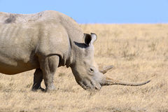 African white rhino. National park of Kenya royalty free stock photo