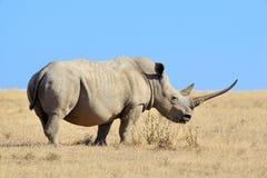 African white rhino. National park of Kenya royalty free stock photography