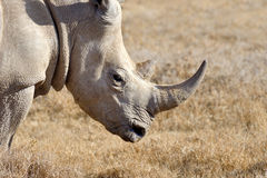 African white rhino. National park of Kenya stock images