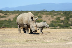 African white rhino. National park of Kenya Stock Image