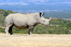 African white rhino. National park of Kenya stock photography