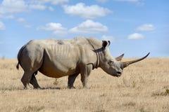African white rhino. National park of Kenya, Africa stock photo