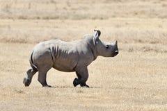 African white rhino. National park of Kenya, Africa stock photos