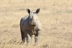 African white rhino. National park of Kenya, Africa stock image
