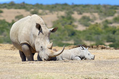 African white rhino. National park of Kenya, Africa Royalty Free Stock Photos