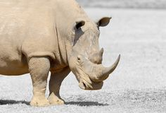 Black and white photography with color rhino. African white rhino, National park of Kenya. Black and white photography with color rhino royalty free stock photo