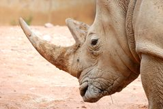 African White Rhino Portrait Stock Photos