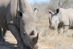 African White Rhino. `s grazing Stock Image