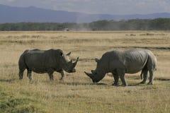 Pair African White Rhino, square-lipped rhinoceros, Lake Nakuru, Kenya. royalty free stock photo