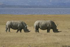 Pair African White Rhino, square-lipped rhinoceros, with birds on the back. Lake Nakuru, Kenya. stock image