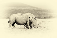 African white rhino. Vintage effect. African white rhino, National park of Kenya. Vintage effect royalty free stock images