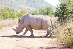 African white rhino walking over gravel road Stock Photos
