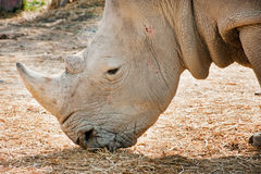 African White Rhino. In the zoo royalty free stock images