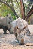 African White Rhino. In the zoo stock photo