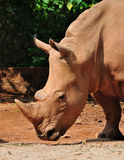 A African White Rhinoceros. Portrait of a African white rhinoceros Stock Photo
