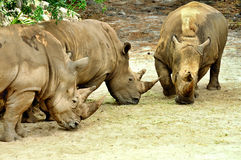 African White rhinoceros Royalty Free Stock Photo