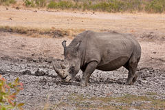 African white rhinoceros Stock Photo