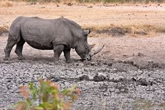 African white rhinoceros Stock Images