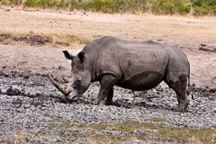 African white rhinoceros Royalty Free Stock Photos
