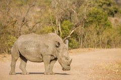 African white rhinoceros, kruger park Royalty Free Stock Image