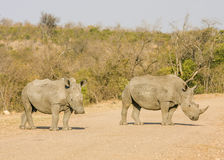 African white rhinoceros, kruger park Royalty Free Stock Photos