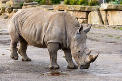 African white rhinoceros Stock Photography