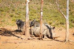 African white rhinoceros Stock Image