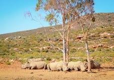 African white rhinoceros Stock Photography