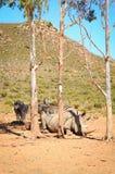 African white rhinoceros Stock Photos