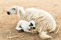 African white sheep laying on the ground and looking around Stock Photos