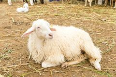 African white sheep laying on the ground and looking around Royalty Free Stock Photo