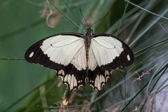 African White Swallowtail butterfly, Papilio dardanus sitting on a leaf royalty free stock image