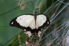 African White Swallowtail butterfly, Papilio dardanus sitting on a leaf. African White Swallowtail butterfly, Papilio dardanus, aka Flying Handkerchief, Mocker royalty free stock images