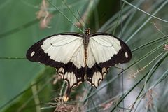 African White Swallowtail butterfly, Papilio dardanus sitting on a leaf. African White Swallowtail butterfly, Papilio dardanus, aka Flying Handkerchief, Mocker stock photos