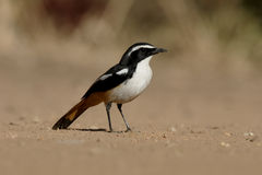 African white-throated robin-chat, Cossypha humeralis Stock Photography